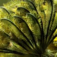 "Tweet  This is a photo of my Green-Banded Crinoid, Stephanometra sp. Crinoids are commonly known as Feather Stars. They are true starfish with five arms. Unlike the ""common"" starfish, off […]"